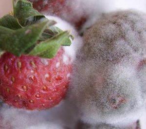 苺に生えた白と黒のカビ